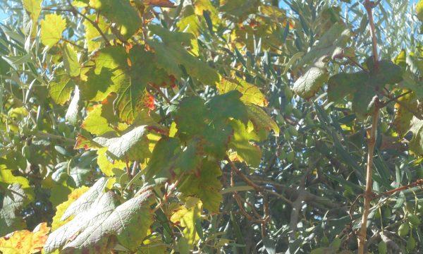 Cilento, è autunno: le rondini ci salutano… è tempo di vendemmia!